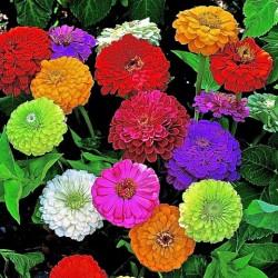 Zinnia Dahlia Flower Seeds