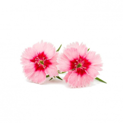 Edible Dry Dianthus Flower