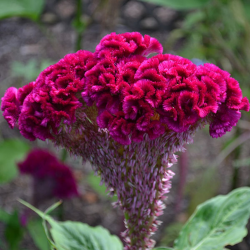 Edible dry cockscomb flower