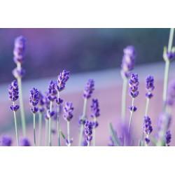 Lavender Flower Seeds