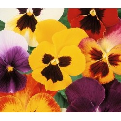 Mix Pansy Flower Seeds
